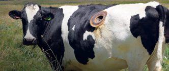 ¿Qué sabemos sobre los agujeros que se hacen en ocasiones en los estómagos de las vacas?