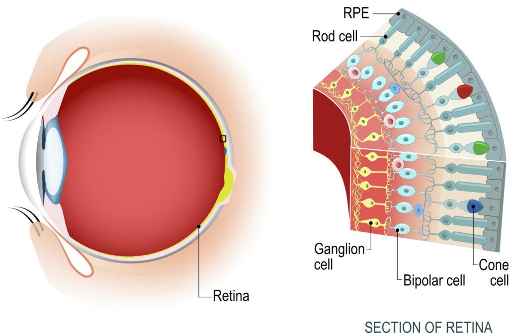 Diagrama de una sección de la retina humana