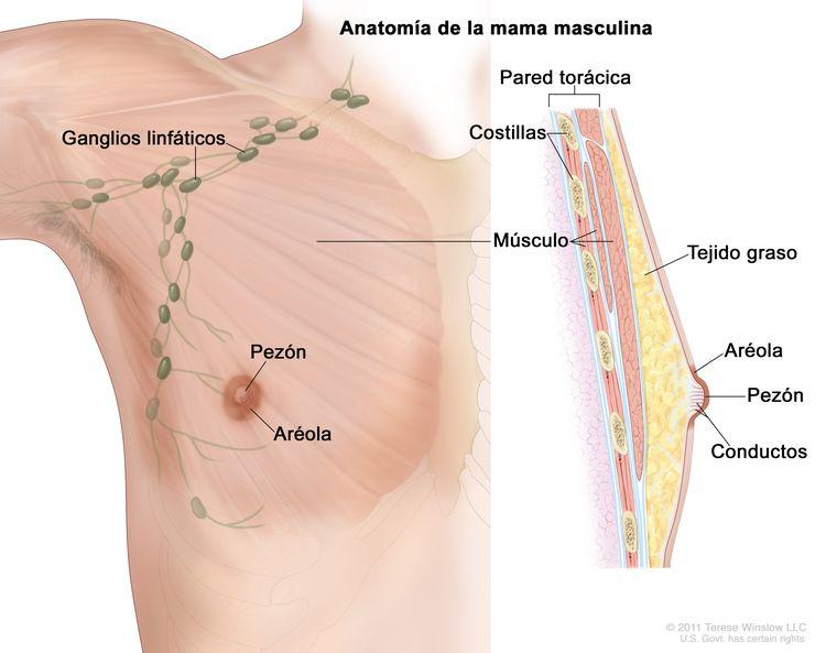 Esquema de la anatomía de la mama masculina