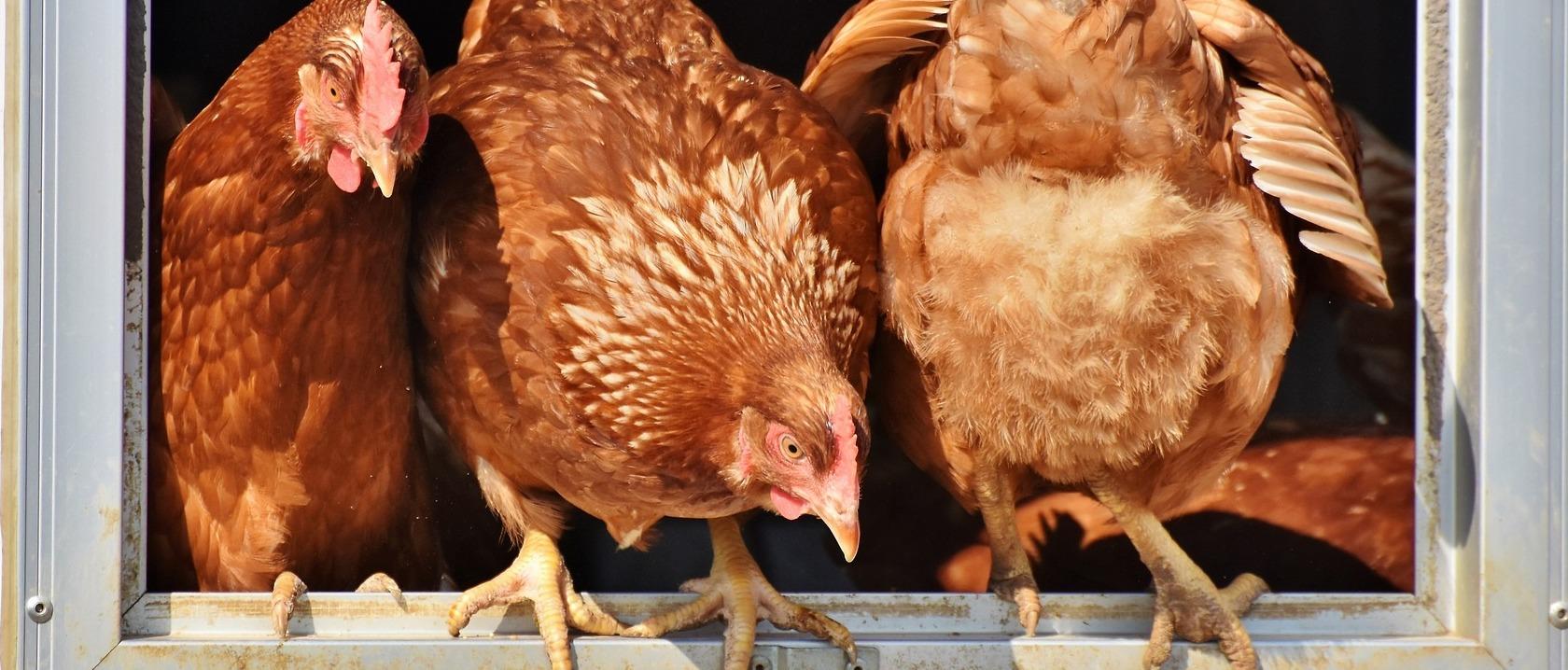 Higado de pollo embarazo